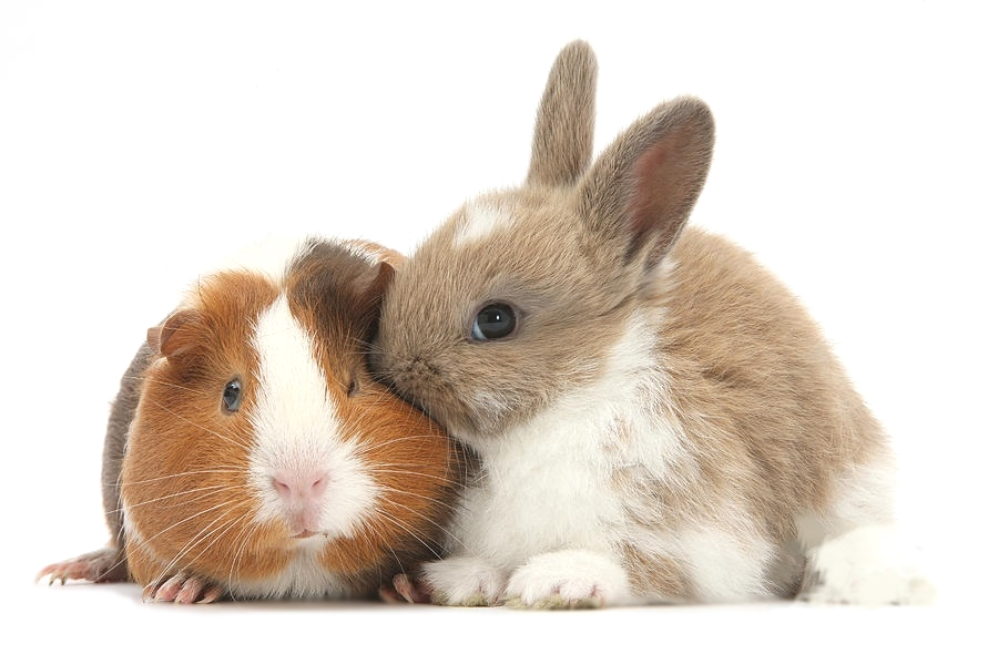 How To Make Cat And Rabbit Friends